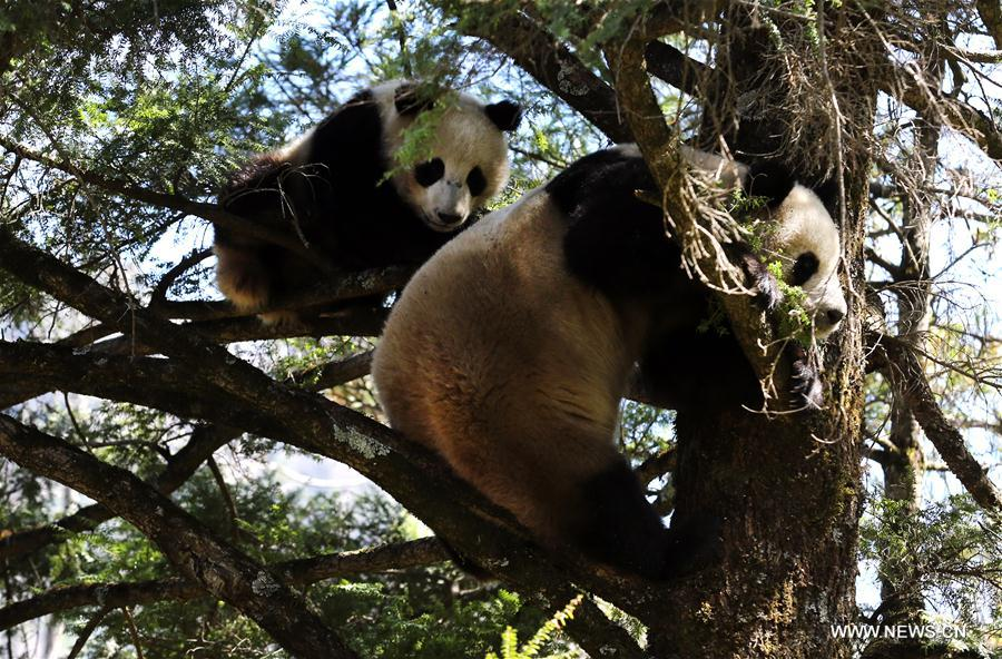 CHINA-SHANNXI-WILD GIANT PANDA (CN)