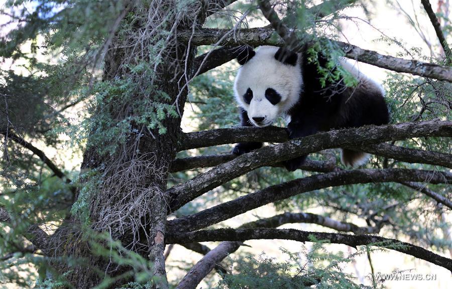CHINA-SHANNXI-WILD GIANT PANDA (CN)