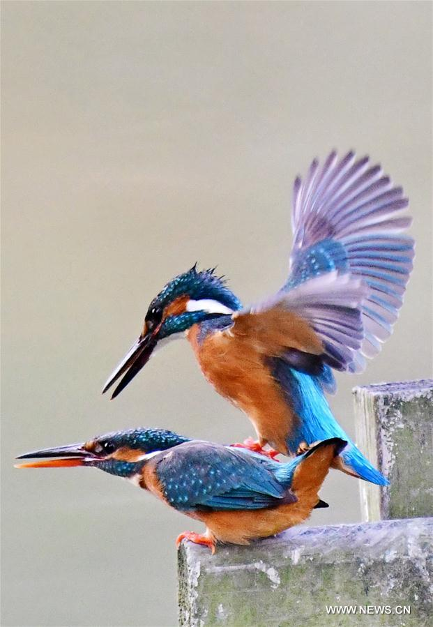 CHINA-FUJIAN-KINGFISHERS (CN)
