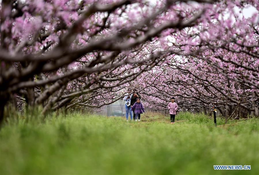 CHINA-TIANJIN-PEACH TREES-SCENERY (CN)