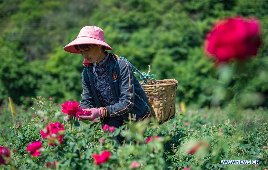 In pics: edible roses in Bajie, SW China's Yunnan - Xinhua   English