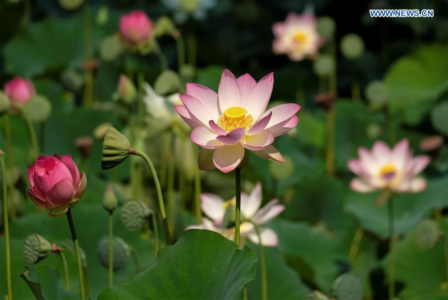 Lotus flowers blossom at echo park in los angeles xinhua english us los angeles lotus mightylinksfo