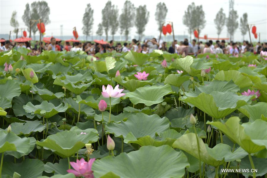 CHINA-HEBEI-XINGTAI-LOTUS FLOWER (CN)