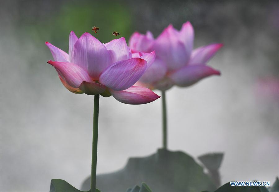 CHINA-ANHUI-LOTUS FLOWER(CN)