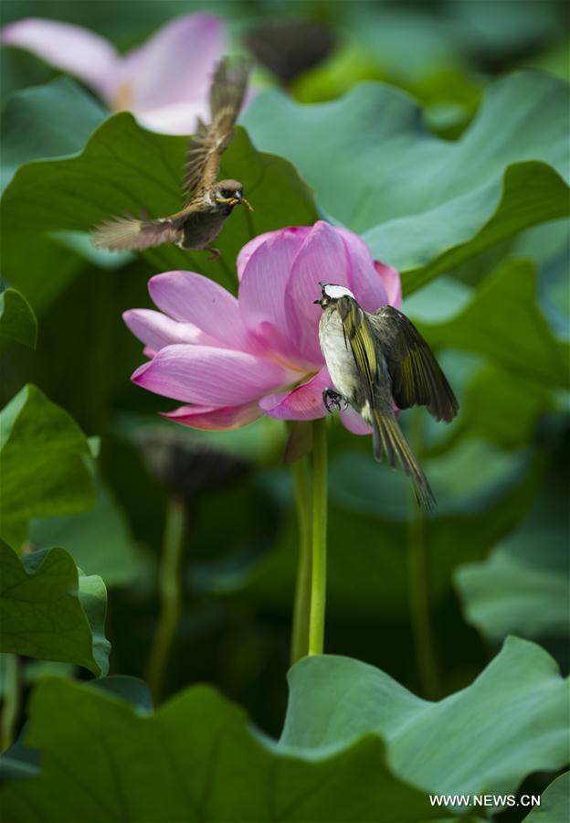 Birds dance with lotus flowers in e china xinhua englishws china nanjing lotus flowercn mightylinksfo