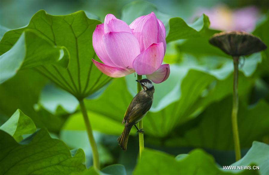 CHINA-NANJING-LOTUS FLOWER(CN)