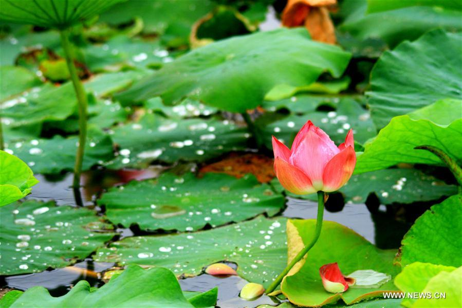 Lotus flower seen in nw chinas gansu xinhua englishws china gansu zhangye lotus cn mightylinksfo