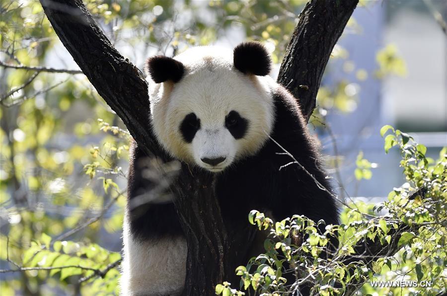 CHINA-LIAONING-SHENYANG-ZOO-PANDA (CN)