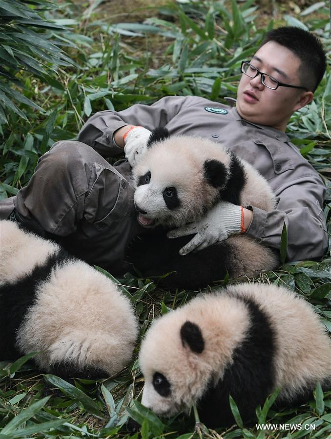a research on different articles on the genomes of the giant panda The matrilineal coalescence time for the cizhutuo panda and the mitochondrial ancestor of present-day giant pandas was ∼183 kya (95% hpd, 227-144 kya), much older than the tmrca for present-day pandas of ∼72 kya (95% hpd, 94-55 kya, supplemental information.