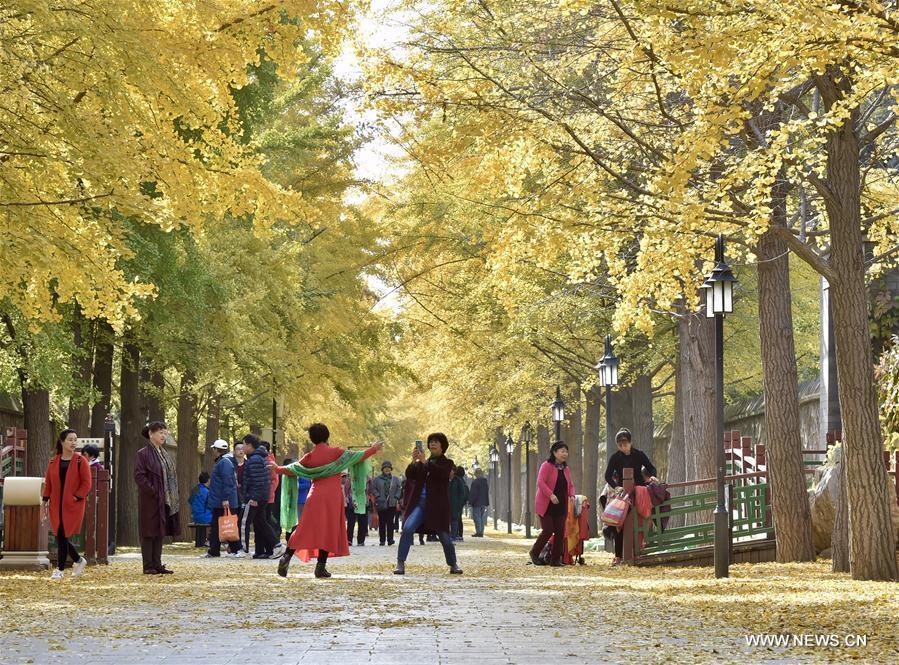 CHINA-BEIJING-AUTUMN-GINKGO TREES(CN)