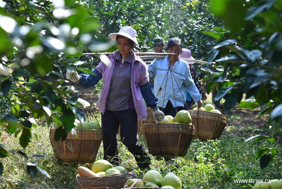 Pomelo / Growing the granddaddy of grapefruit - SFGate