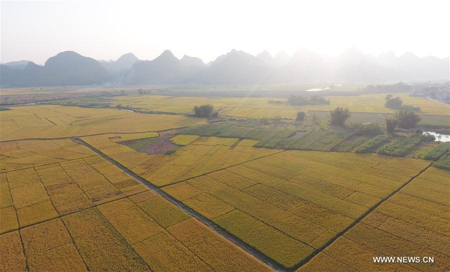 CHINA-GUANGXI-SHANGLIN-HARVEST (CN)