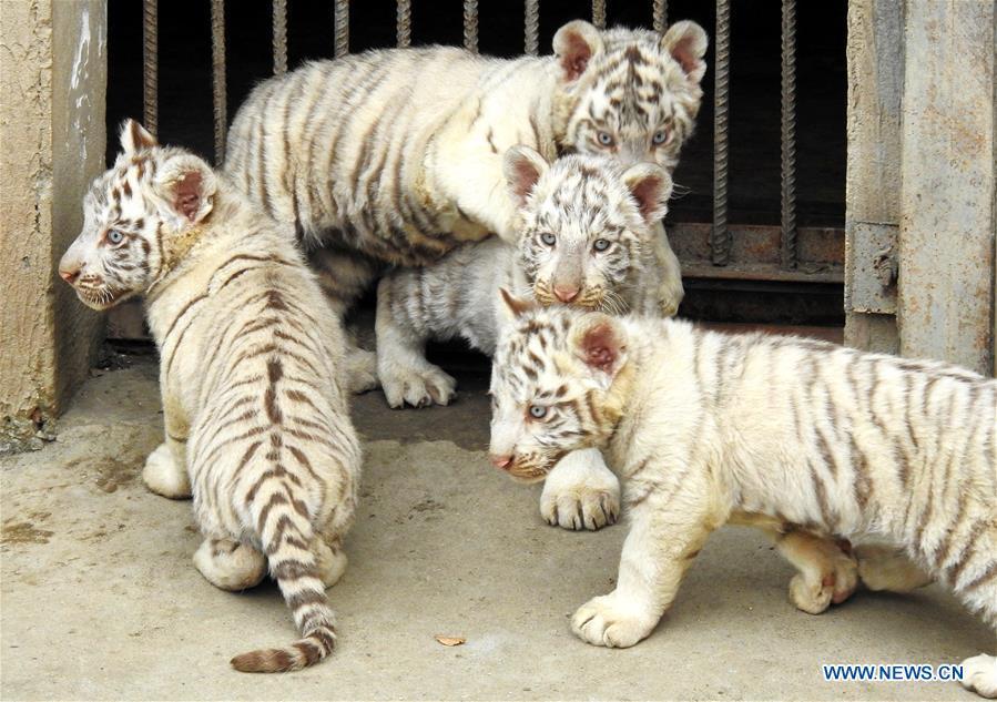 #CHINA-JIANGSU-LIANYUNGANG-TIGER CUBS (CN)