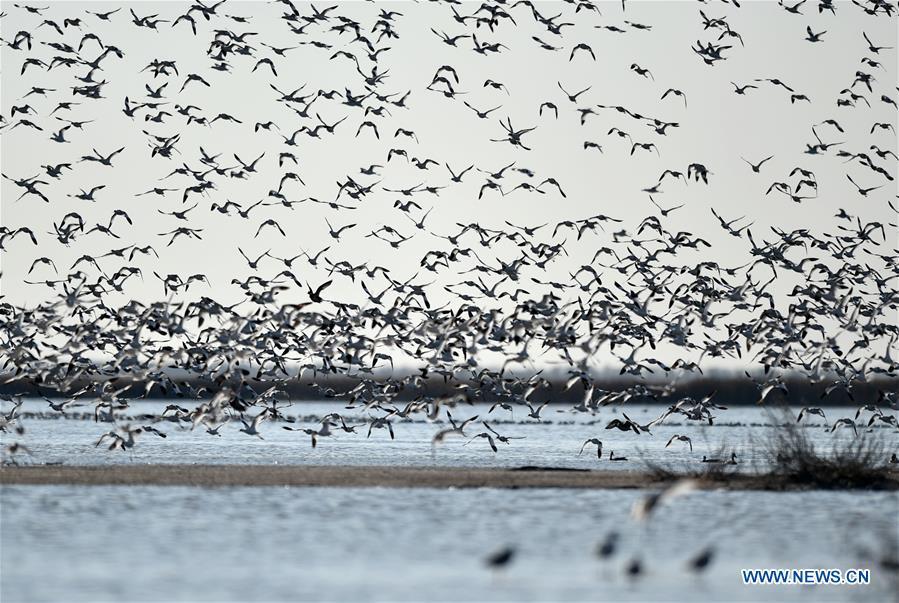 CHINA-TIANJIN-MIGRANT BIRDS (CN)