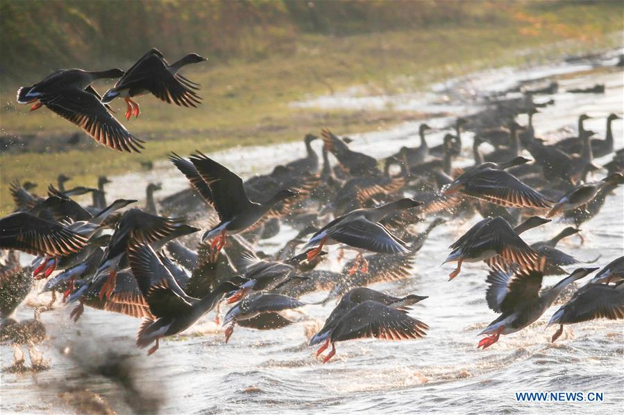 #CHINA-JIANGSU-MIGRATORY BIRDS (CN)
