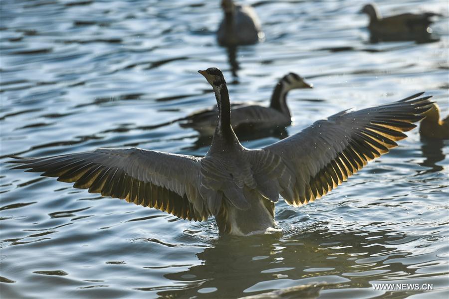 CHINA-LHASA-MIGRATORY BIRD(CN)