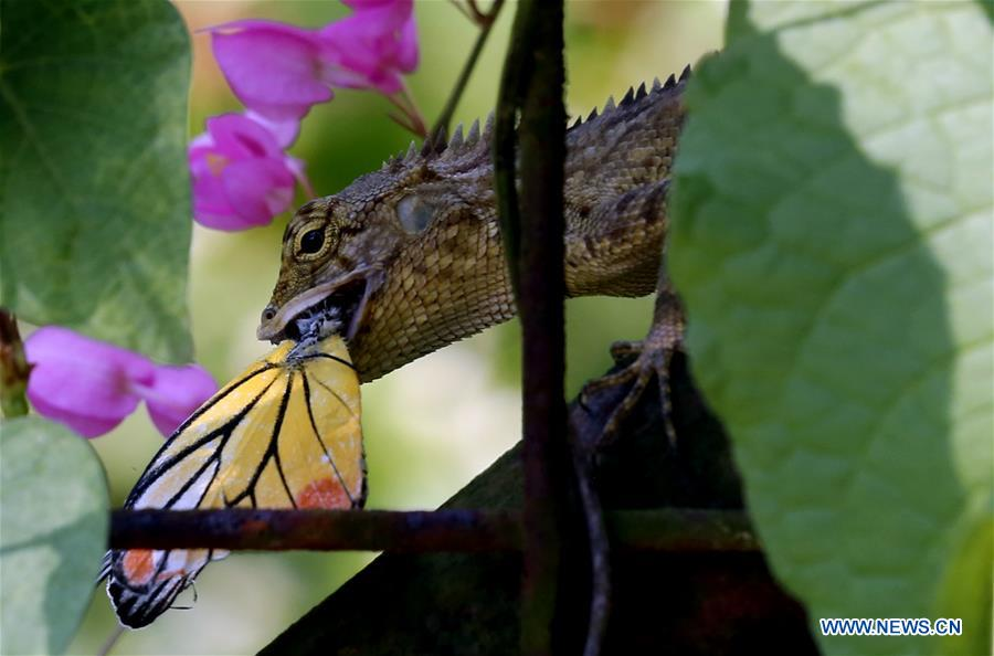 MYANMAR-YANGON-CHAMELEON-CATCHING