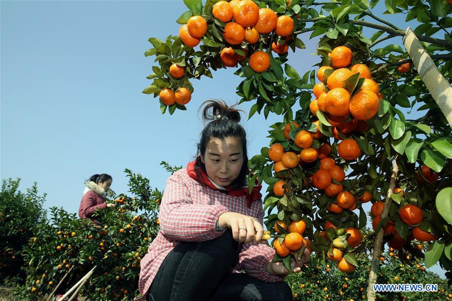 CHINA-GUANGXI-ORANGE-HARVEST(CN)