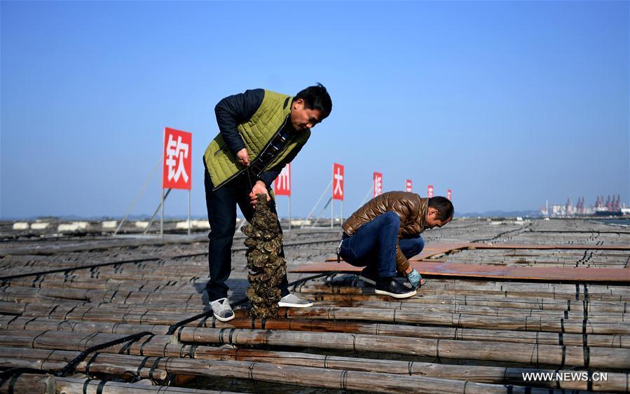 CHINA-GUANGXI-QINZHOU-OYSTER-CULTIVATION (CN)