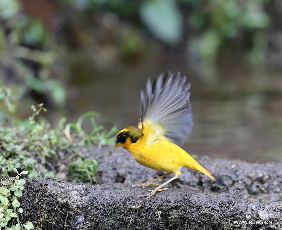 CHINA-YUNNAN-GAOLIGONG MOUNTAIN-BIRDS (CN)