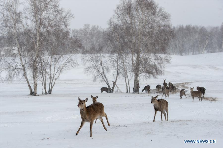 #CHINA-INNER MONGOLIA-ANIMALS-DEER (CN)