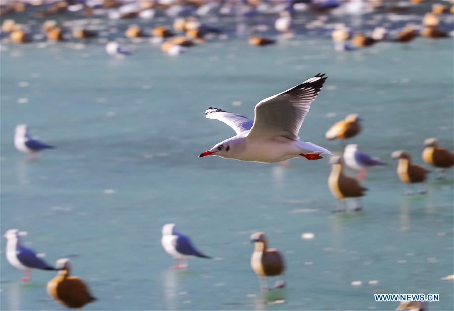 Tibet's Dragon King Pool park home to migratory birds in winter