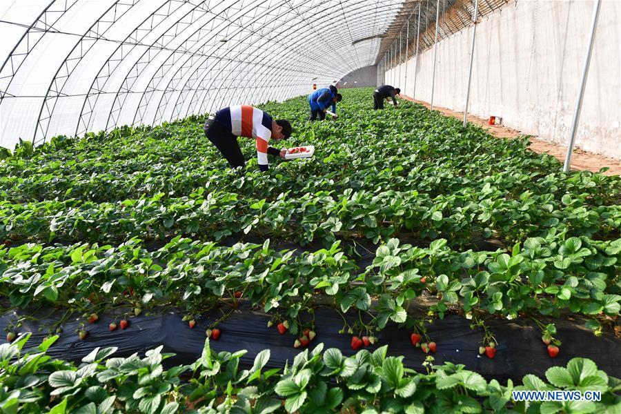 CHINA-HEBEI-WINTER-FARM WORK (CN)