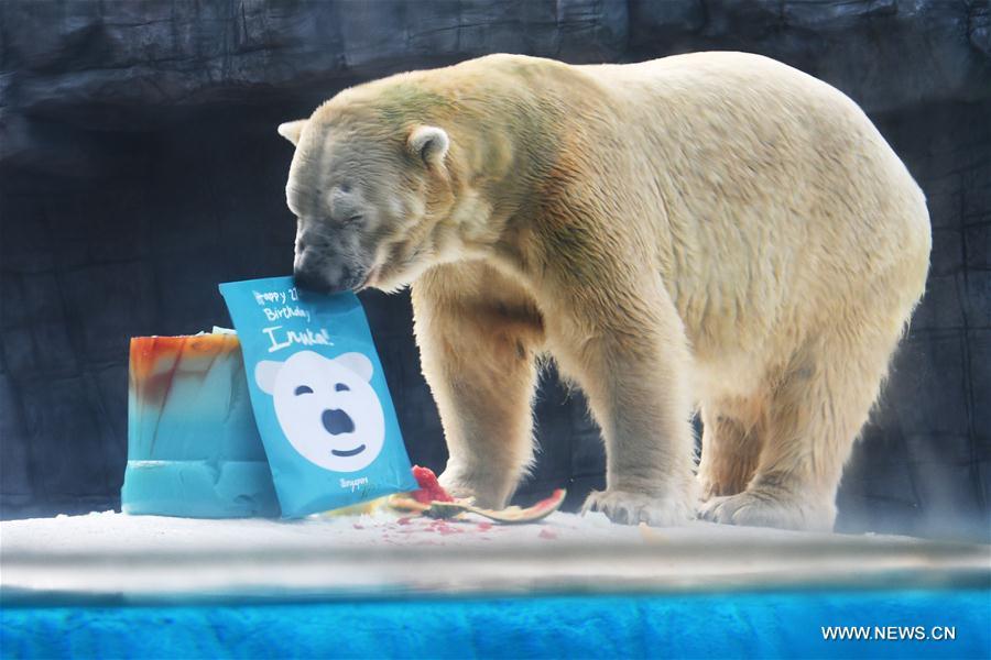 Feature: Singaporean polar bear celebrates 27th birthday