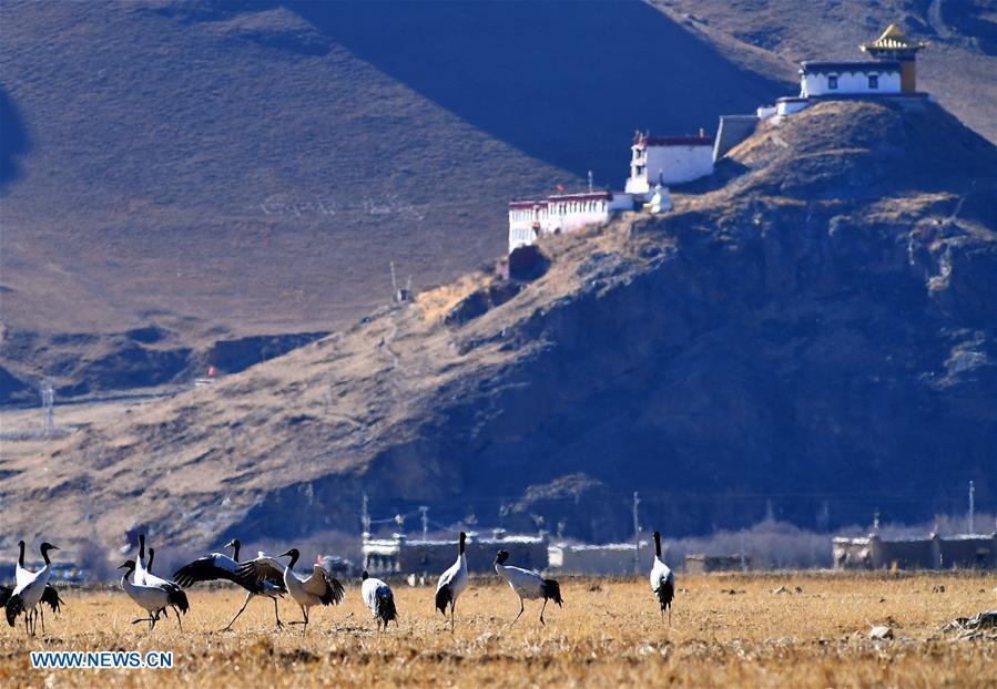 CHINA-TIBET-BLACK-NECKED CRANE-WINTER HABITAT (CN)