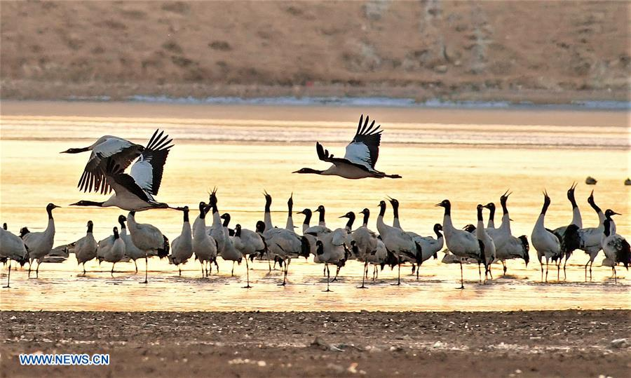 CHINA-TIBET-BLACK-NECKED CRANE-WINTER HABITAT (CN)