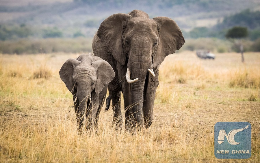60be5f031 China s ivory trade ban wins praise in Africa - Xinhua