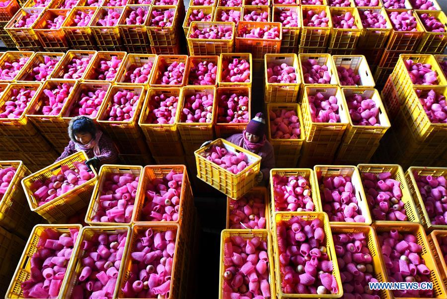 Farmers of a fruit cooperative put apples that are ready to be exported in order in Zhangjiapo Town of Yiyuan County, east China's Shandong Province, Jan. 4, 2018. More than a thousand tonnes of apples were ready to be exported to Thailand, Indonesia and other countries. (Xinhua/Zhao Dongshan)<br/>