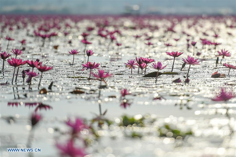 THAILAND-UDON THANI-WATER LILIES-BLOSSOM
