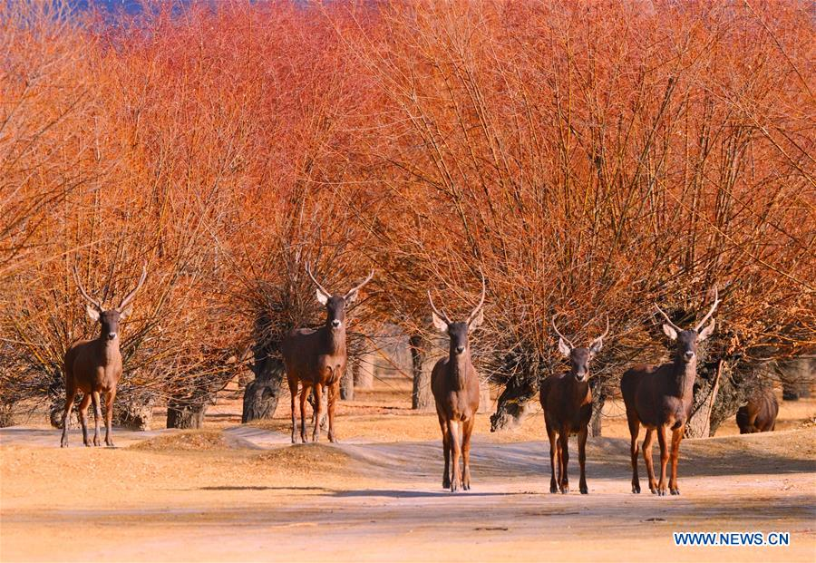 CHINA-TIBET-ANIMALS-WINTER HABITAT (CN)
