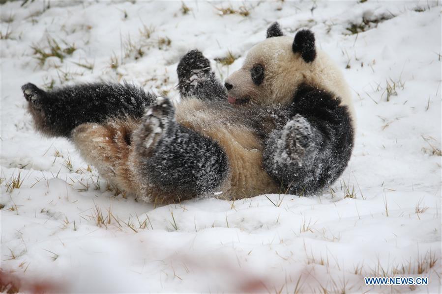 CHINA-SHAANXI-WINTER-GIANT PANDA