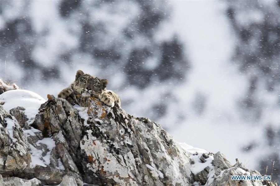 CHINA-QINGHAI-BIOLOGICAL DIVERSITY-SNOW LEOPARD (CN)