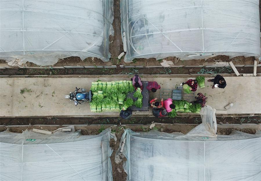 CHINA-JIANGSU-FARMING-VEGETABLE (CN)