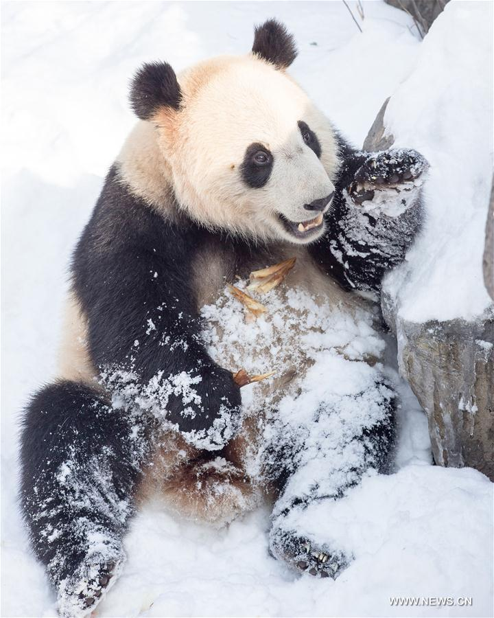 #CHINA-NANJING-SNOW-GIANT PANDA (CN)