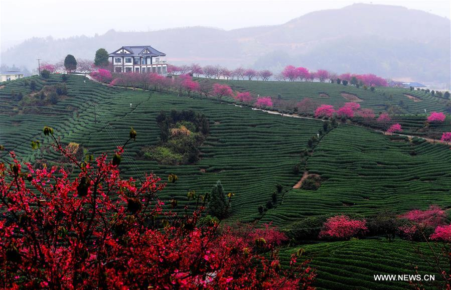 CHINA-FUJIAN-ZHANGPING-CHERRY BLOSSOM (CN)