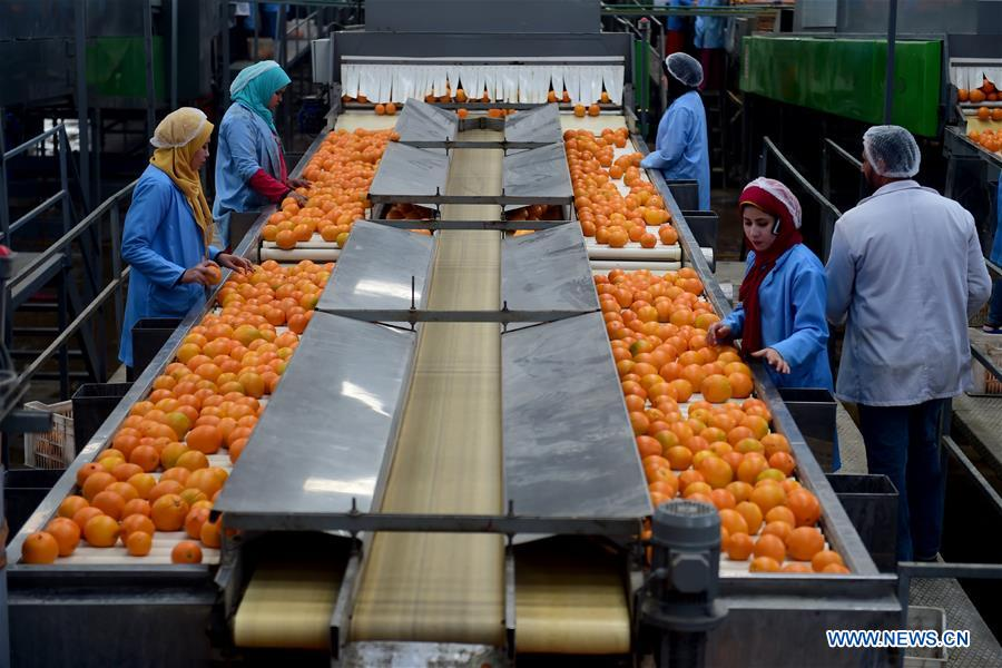 Feature: Citrus farms prosper in Egypt as country becomes