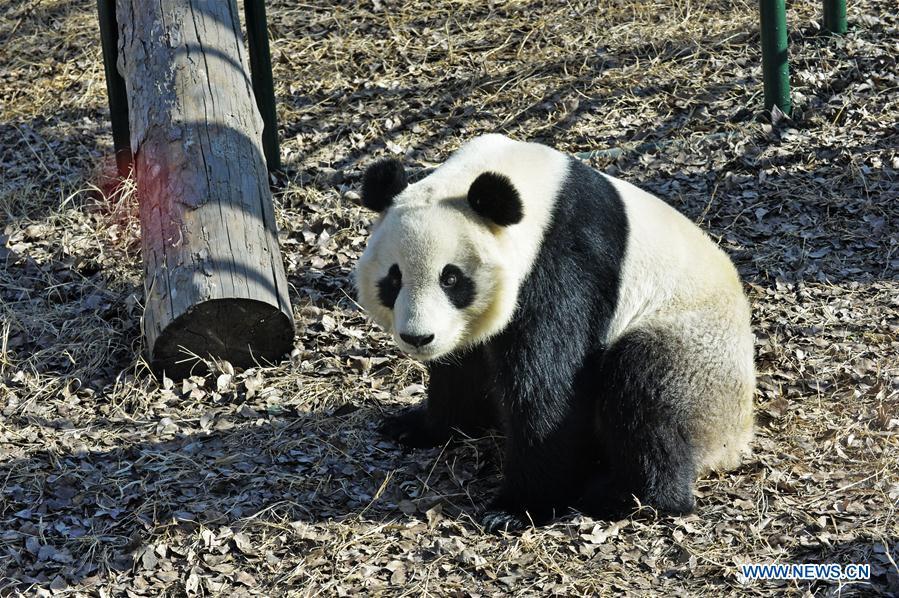 #CHINA-TIANJIN-GIANT PANDA(CN)