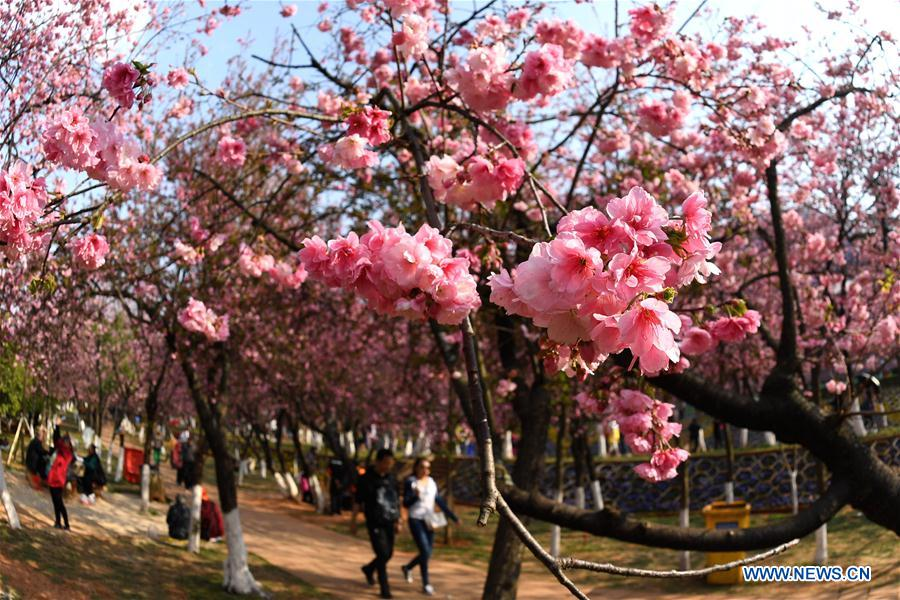 CHINA-YUNNAN-KUNMING-CHERRY BLOSSOM (CN)