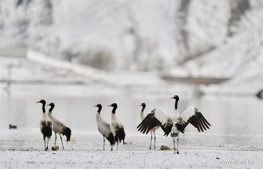 Black-necked cranes seen in snow in China's Tibet