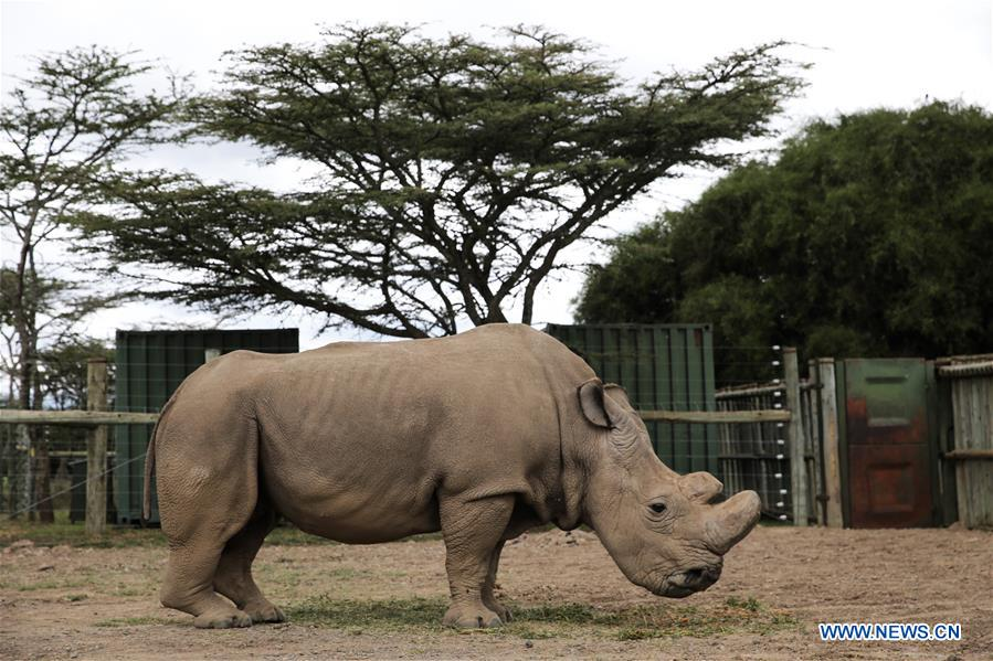 Xinhua Headlines: Humankind has to prepare for worst as last male northern  white rhino battles