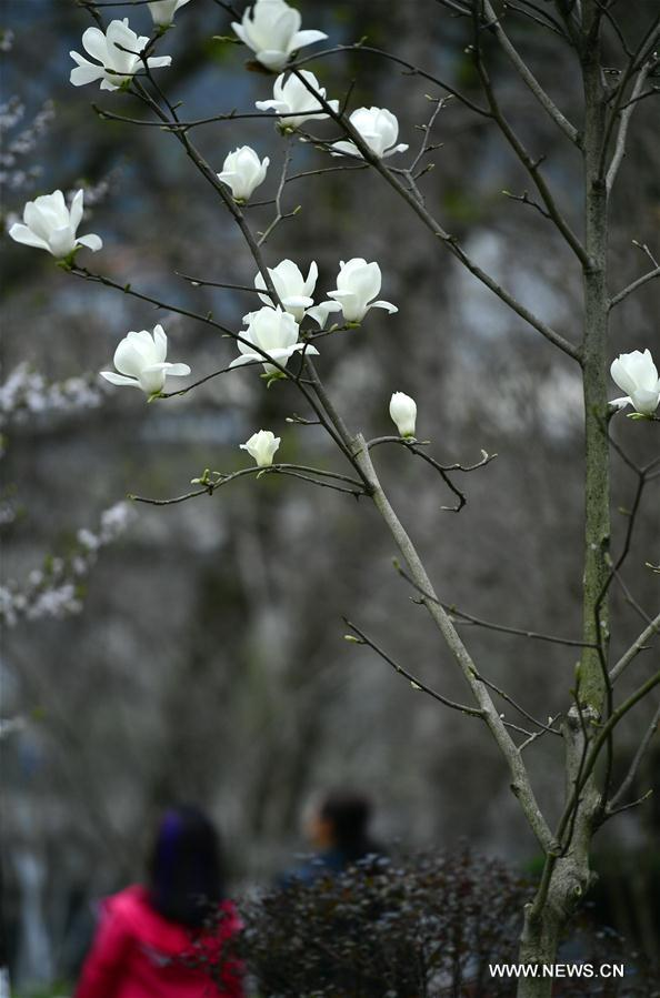 Magnolia flowers bloom by the Gongshui River in Xuan'en County, central China's Hubei Province, March 13, 2018. (Xinhua/Song Wen)