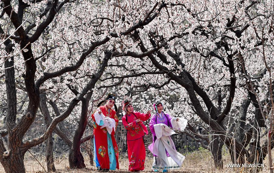 Opera lovers in costumes perform at a pear garden of Longquangu scenic spot in Fengrun District of Tangshan, north China's Heibei Province, April 10, 2018. (Xinhua/Mu Yu)<br/>