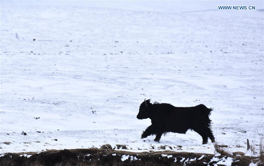 Herd of yaks seen on snow-covered grassland in China's Qinghai