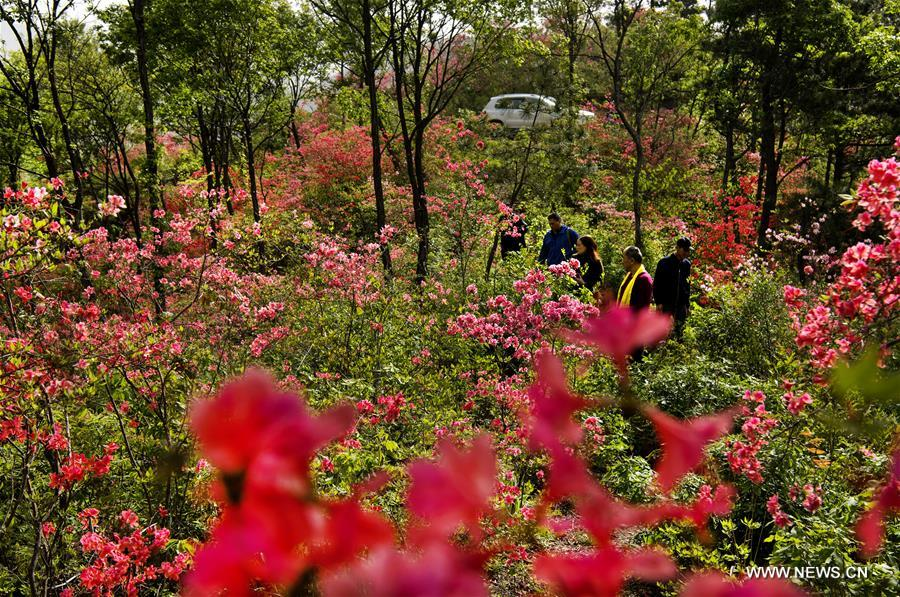 CHINA-ANHUI-JINZHAI-AZALEA FLOWER (CN)