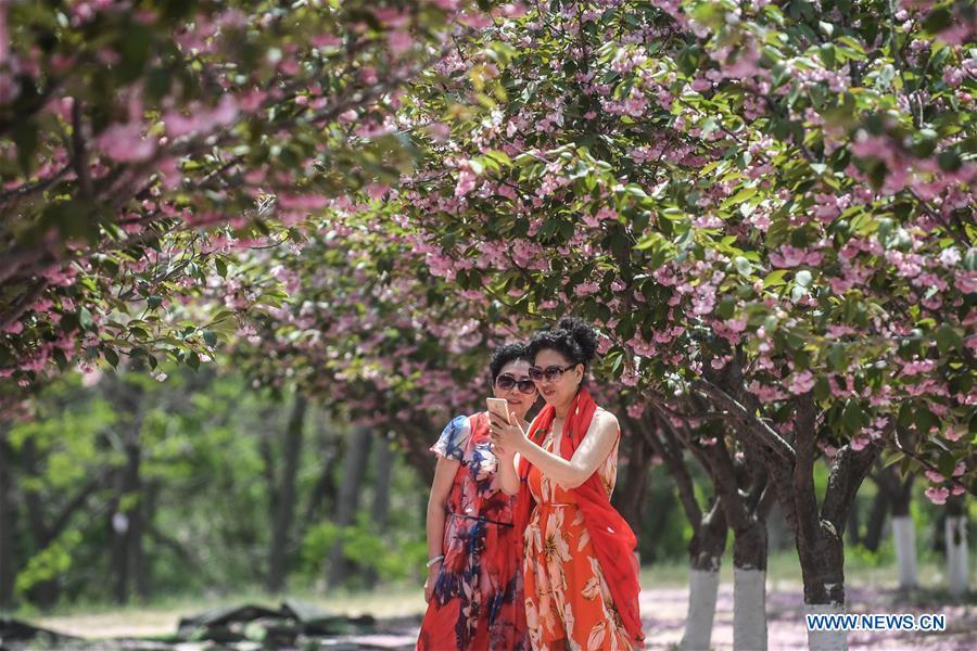 中国 - 大连 - 樱桃花开(中国)