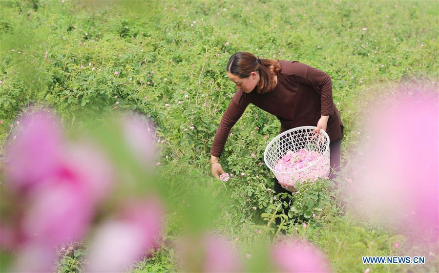 #CHINA-JIANGSU-ROSE PLANTING (CN)